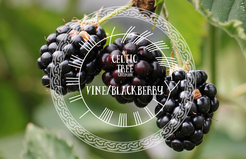 Vine, Blackberry, Celtic Tree Calendar
