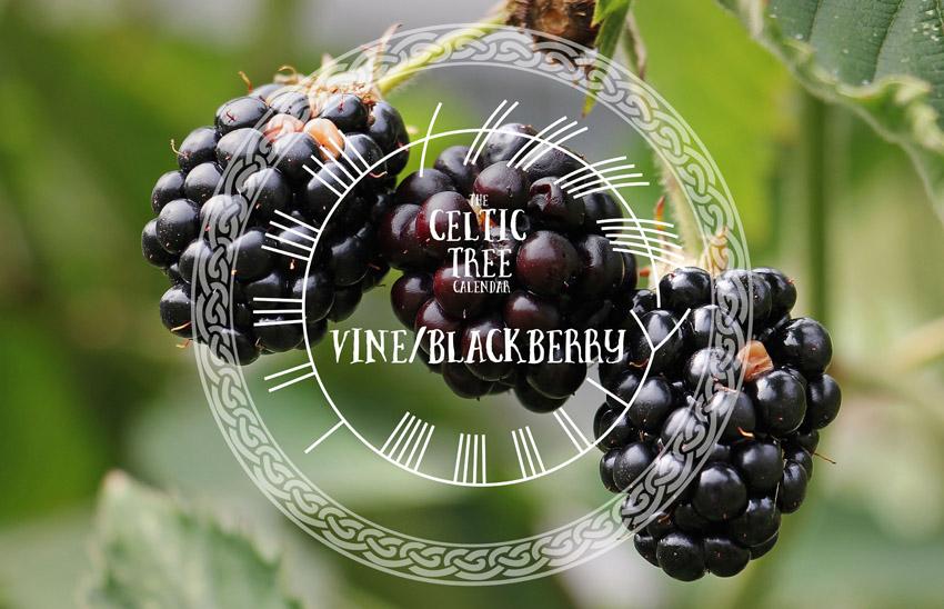 Vine, Blackberry, Celtic Tree Calendar