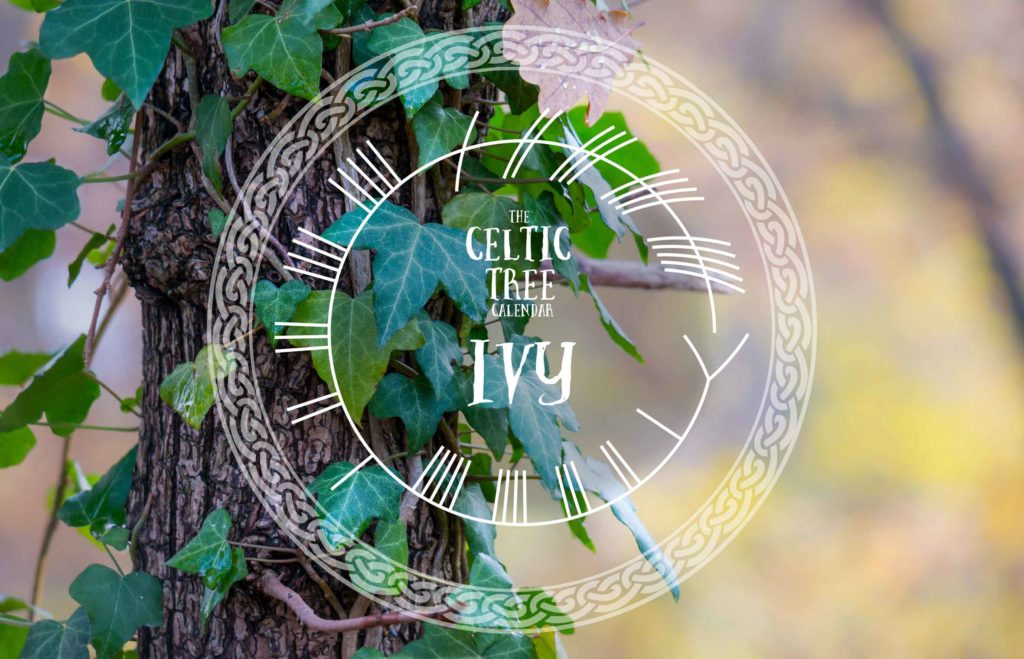 Ivy, Celtic Tree Calendar